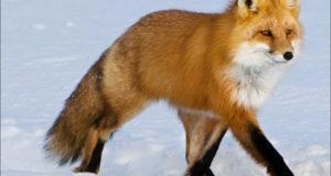 Видео: в Башкирии лиса украла у рыбаков удочку