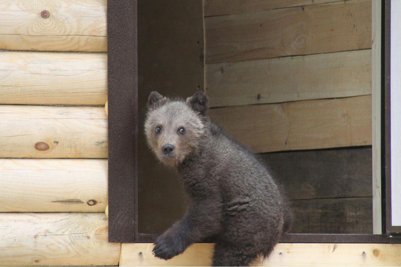 Медвежонка, как символа Национального парка «Башкирия», предлагают назвать Айыуханом, Теди или Дибашем