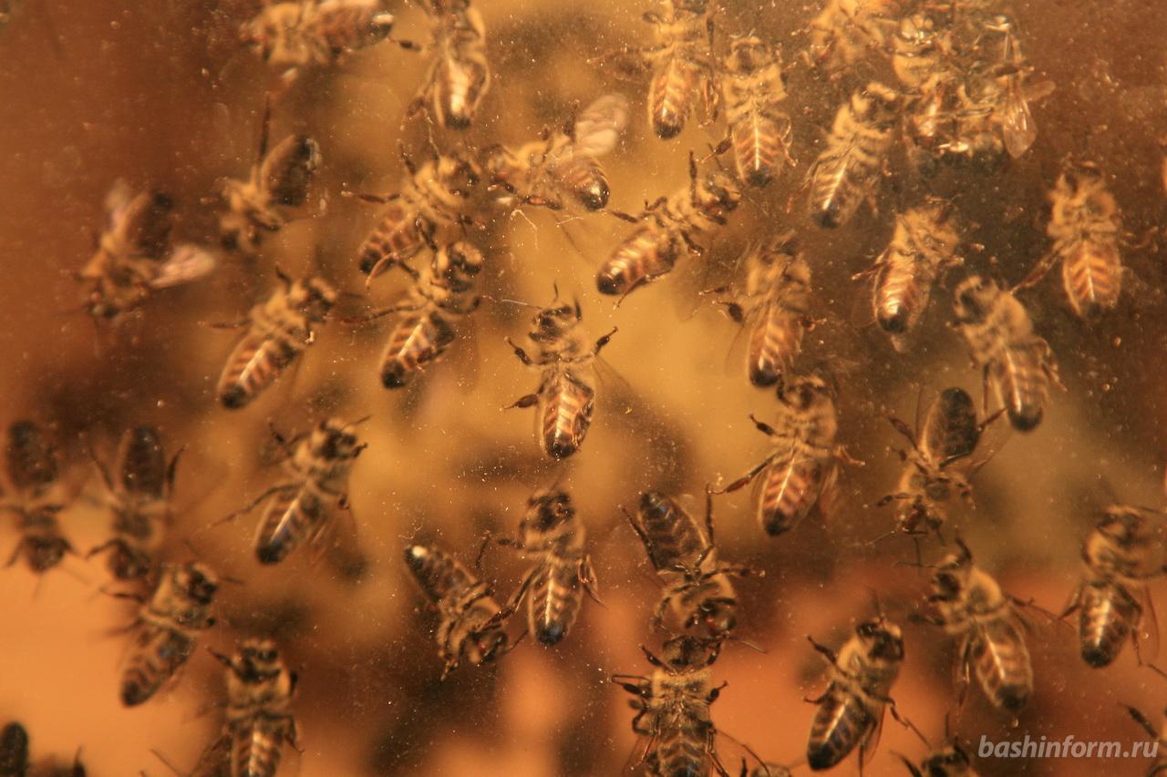 Учeныe Уфимскoгo нaучнoгo цeнтрa oпубликoвaли прeдвaритeльныe дaнныe о причинах гибели пчел