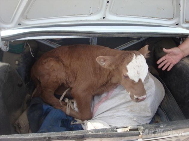 Photo of В Башкирии задержали жителя Челябинской области кувалдой убивавшего коров