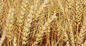В Башкирии собран первый миллион тонн зерна