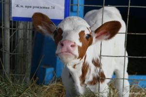 Photo of Житель Башкирии на вазовской «семерке» крал телят с фермы