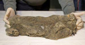 В Якутии нашли замерзшего львенка, которому больше 20 тысяч лет