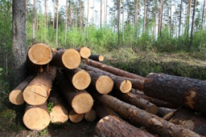 Photo of В РБ депутат райсовета осужден за нелегальную вырубку леса.