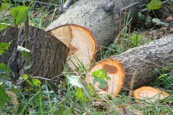 Photo of На Раевском тракте намереваются вырубить тополиную посадку