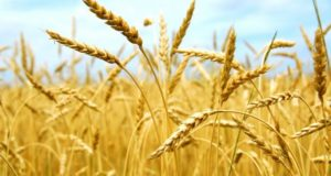 Аграрии Стерлитамакского района поведали, замерз ли новейший урожай озимых культур
