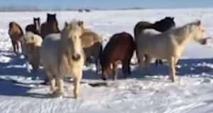 Обитатель Башкирии с помощью горлового пения говорил с лошадьми
