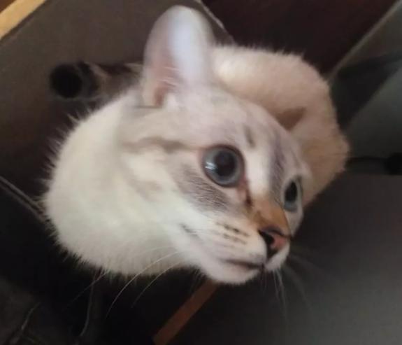 Кошка белая