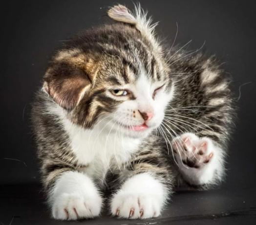 котенок чешется