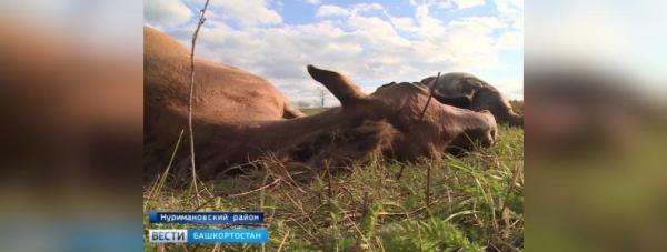 Photo of Жители Башкирии просят Радия Хабирова обратить внимание на проблему отстрела лошадей