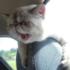 Кот в машине едет