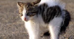 котенок с выгнутой спиной