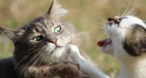 коты двое орут