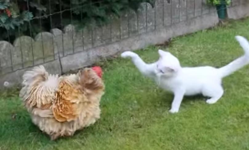 кот с курицей