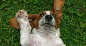 пес глупый