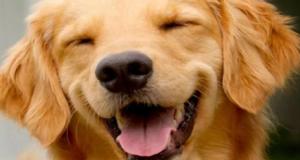 собака рыжая