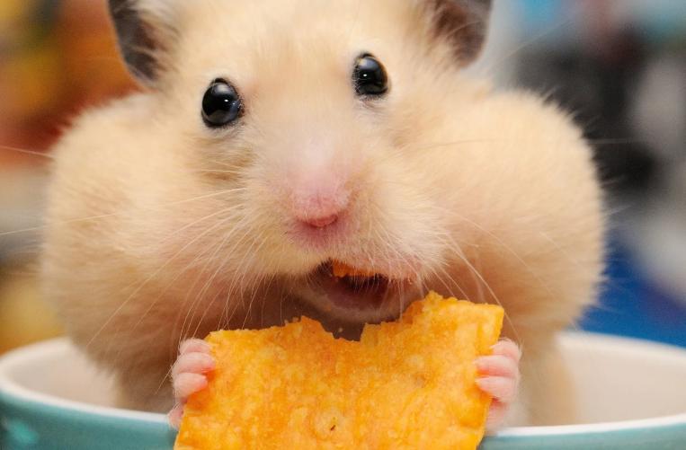 хомяк ест корм