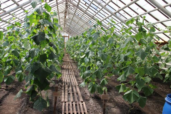 Клумбы Стерлитамака украсят более 90 тысяч цветов, выращенных в женской колонии-поселении6