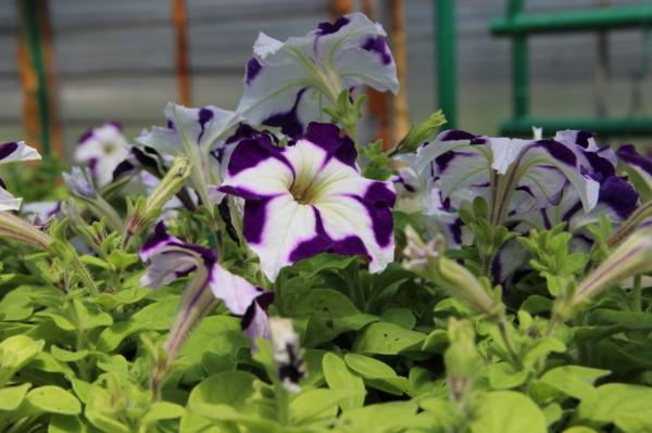 Клумбы Стерлитамака украсят более 90 тысяч цветов, выращенных в женской колонии-поселении1