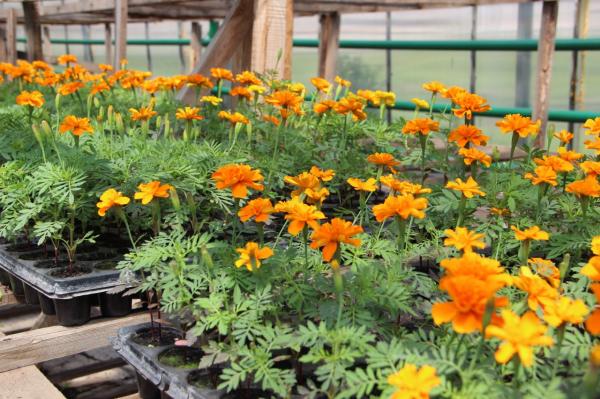 Клумбы Стерлитамака украсят более 90 тысяч цветов, выращенных в женской колонии-поселении3