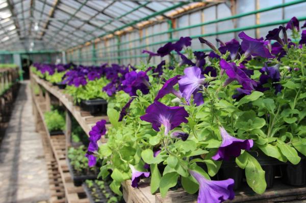 Клумбы Стерлитамака украсят более 90 тысяч цветов, выращенных в женской колонии-поселении2